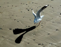 Seagull Looking For Food. Stock Photography