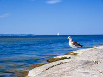 Seagull looking forward Stock Photography
