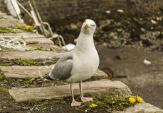 Seagull looking inquiring. In Portree Harbour Isle of Skye, Scotland Royalty Free Stock Photography
