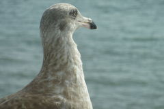 Seagull. Looking out over water Stock Photos