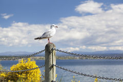 Seagull looking over Lake Taupo Stock Photography