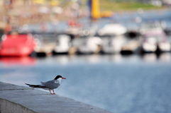 Seagull looking Royalty Free Stock Photography