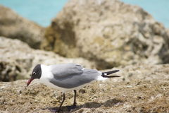 Seagull. Looking for something to eat Stock Images