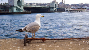 The seagull looking to sea Royalty Free Stock Photography