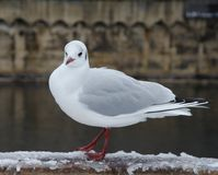 Seagull is looking to us on the wall stock photography