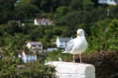 Seagull looking towards the camera with a coastal village backdrop. A seagull is perched on a wall next to a hedge. The background contains houses and trees stock photography