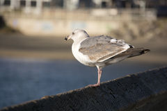 Seagull. Looks on the back and side Stock Images