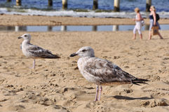 A seagull looks for breakfast Stock Photos