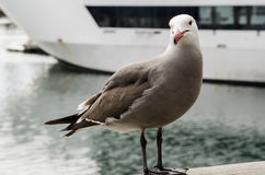 Seagull Looks at Camera Stock Photo