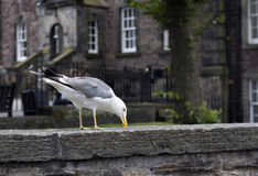 Seagull looks for food Stock Images