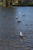 Seagull looks out over pond at a park Royalty Free Stock Photography