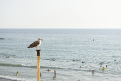 A seagull. Looks at people on the beach Royalty Free Stock Photo