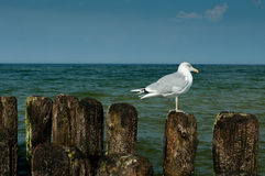 Seagull looks Royalty Free Stock Photos