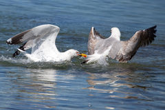 Seagull lovers royalty free stock images