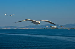 Seagull in low flight over the sea near Thassos island Stock Photography