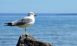 Seagull on Mackinac Island, MI Stock Photos
