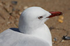 Seagull. Macro photo of seagull on the beach.  The red beak and white feathers are a good combination of colour.  Gulls are seabirds of the family Laridae in the Royalty Free Stock Photo