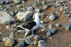 Seagull  on Magdalena Island Royalty Free Stock Photography