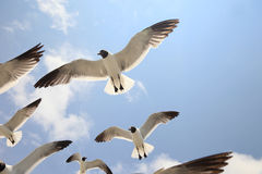 Seagull Majesty. Group of Seagulls in flight Stock Images
