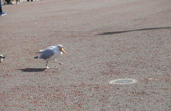 Seagull makes off on foot with stolen ice-cream cone from tourist. Royalty Free Stock Photos