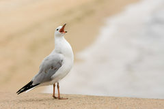 Seagull making loud announcement at beach. Royalty Free Stock Photography