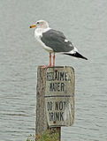 Seagull. Male Gull Sitting On Warning Sign Post Stock Photography
