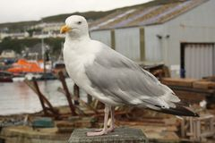 Seagull Mallaig Harbour. Seagull on fence by Mallaig Harbour Royalty Free Stock Photo
