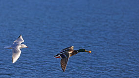 Seagull and mallard duck in flight Stock Images