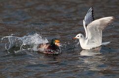 Seagull and mallard duck. On the lake Royalty Free Stock Photos