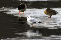 Seagull and mallard ducks on the ice in the lake Stock Photography