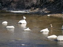 Seagull and Mallard male sitting on a rock in the river. Sunny spring day.  stock photo