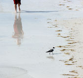 Seagull and Man on the Beach. A seagull walks on the beach in front of a man running royalty free stock photography
