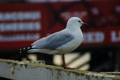 Seagull in Mangonui Royalty Free Stock Photo