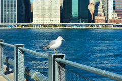Seagull with Manhattan in background. Focus on the bird. Royalty Free Stock Photo