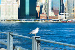 Seagull with Manhattan in background. Focus on the bird. Royalty Free Stock Image