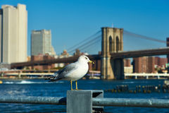 Seagull with Manhattan in background. Stock Photography