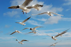 Seagull. Many seagulls flying in blue sky Royalty Free Stock Photos