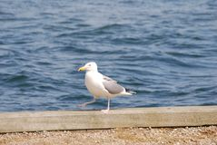 Seagull marching at the waterfront. Marching, walking seagull Royalty Free Stock Images