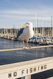 Seagull at the marina Stock Photography