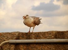 Seagull. Stock Image