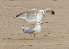 Seagull Mating Stock Image