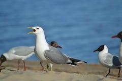 Seagull med den öppna näbb i sandcloseupen Arkivbilder