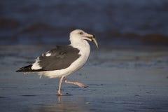 Seagull med en fisk Arkivbild
