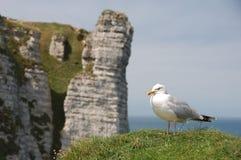 Seagull med Etretat Aval klippor i bakgrunden arkivbild