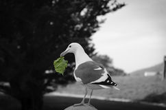 Seagull med ett stycke av stulen grönsallat nära Hearst slottStillahavskusten av Kalifornien Royaltyfria Foton