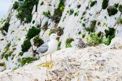 Seagull med fågelungen på berget arkivbild