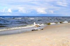 Seagull med fisken Arkivbild