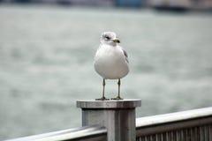 Seagull med Kanada till USA bron i bakgrund Arkivfoto