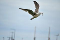 Seagull med krabban i dess näbb royaltyfria foton