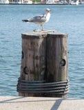 Seagull med munnen som är öppen på pir royaltyfri bild